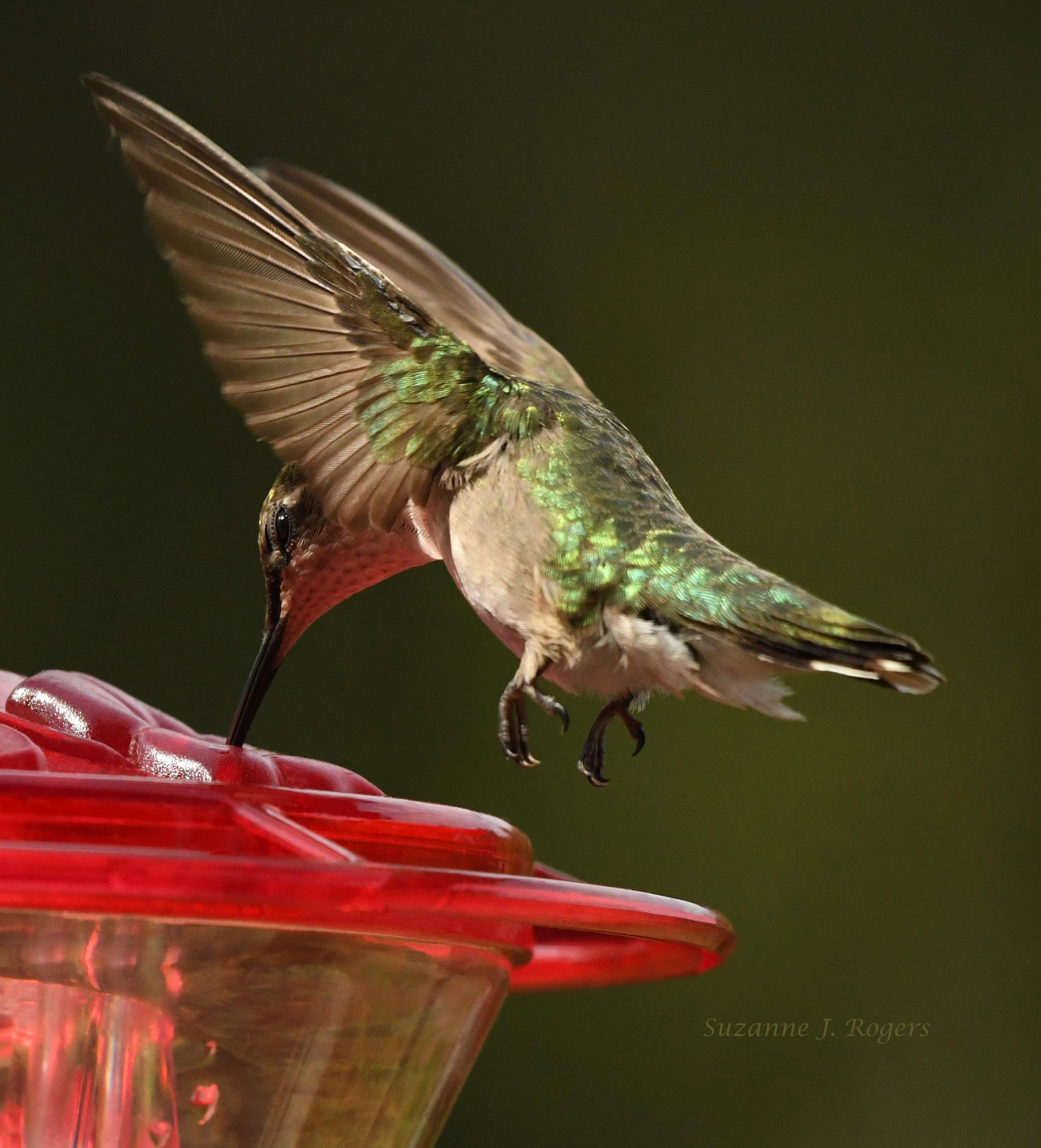 DSC_9932 hummingbird wm