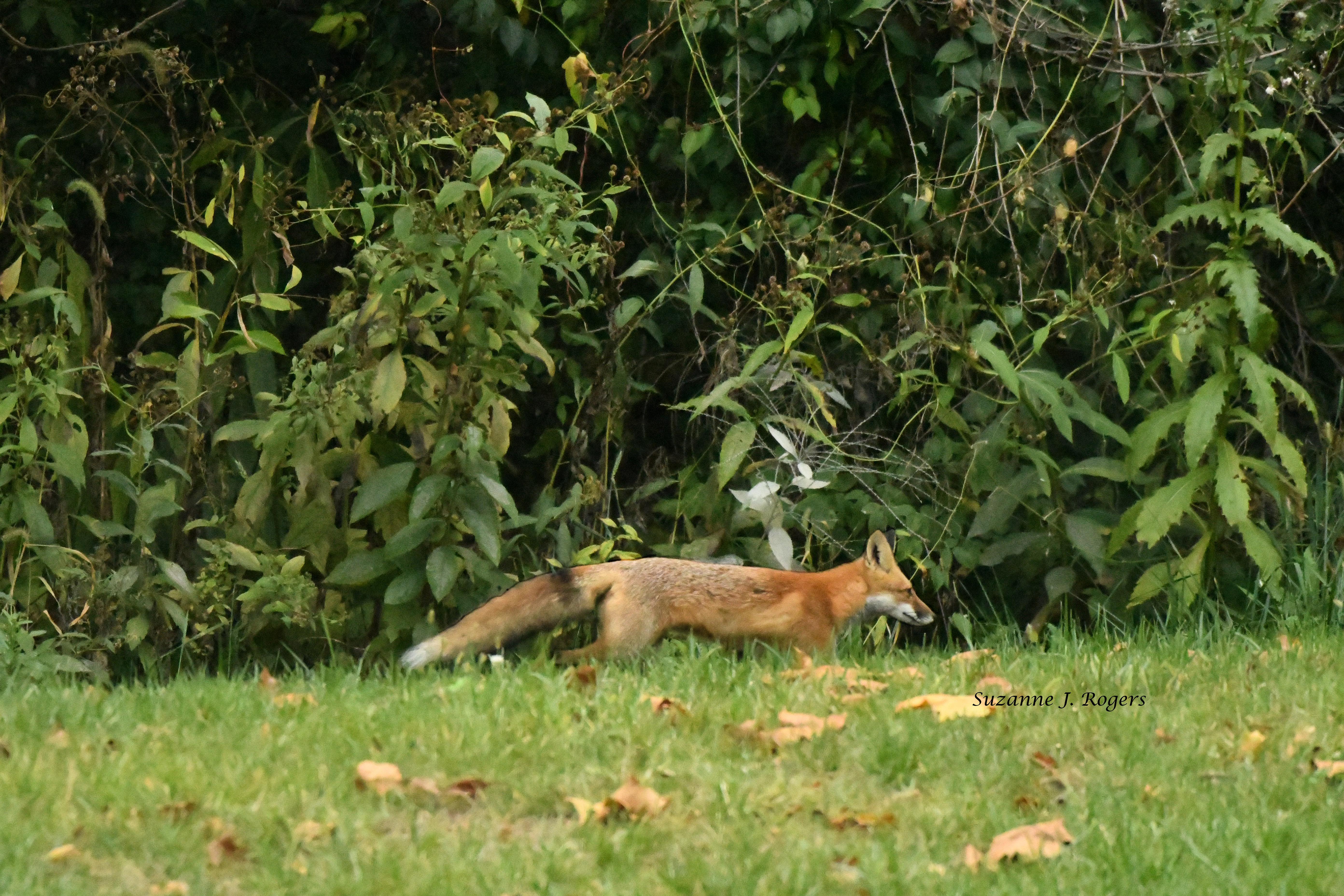 It's a fox doing fox stuff wm