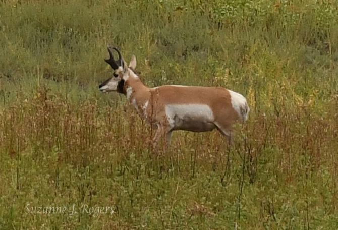 One male antelope wm