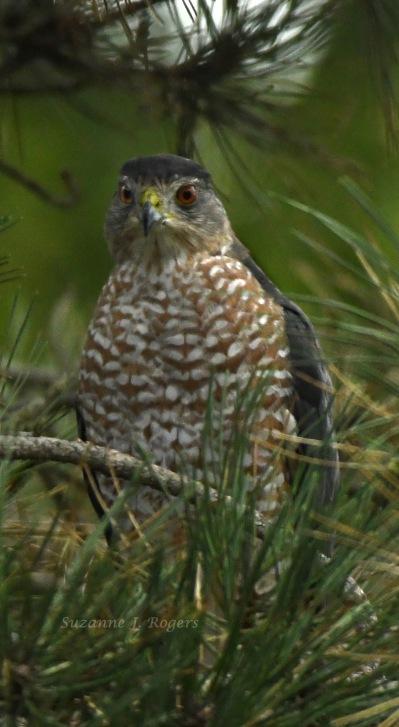 Peregrine falcon wm