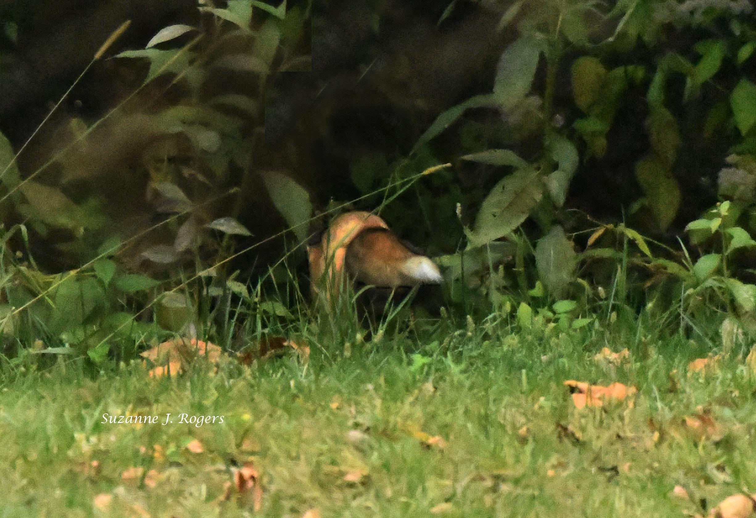 The Fox Tail wm