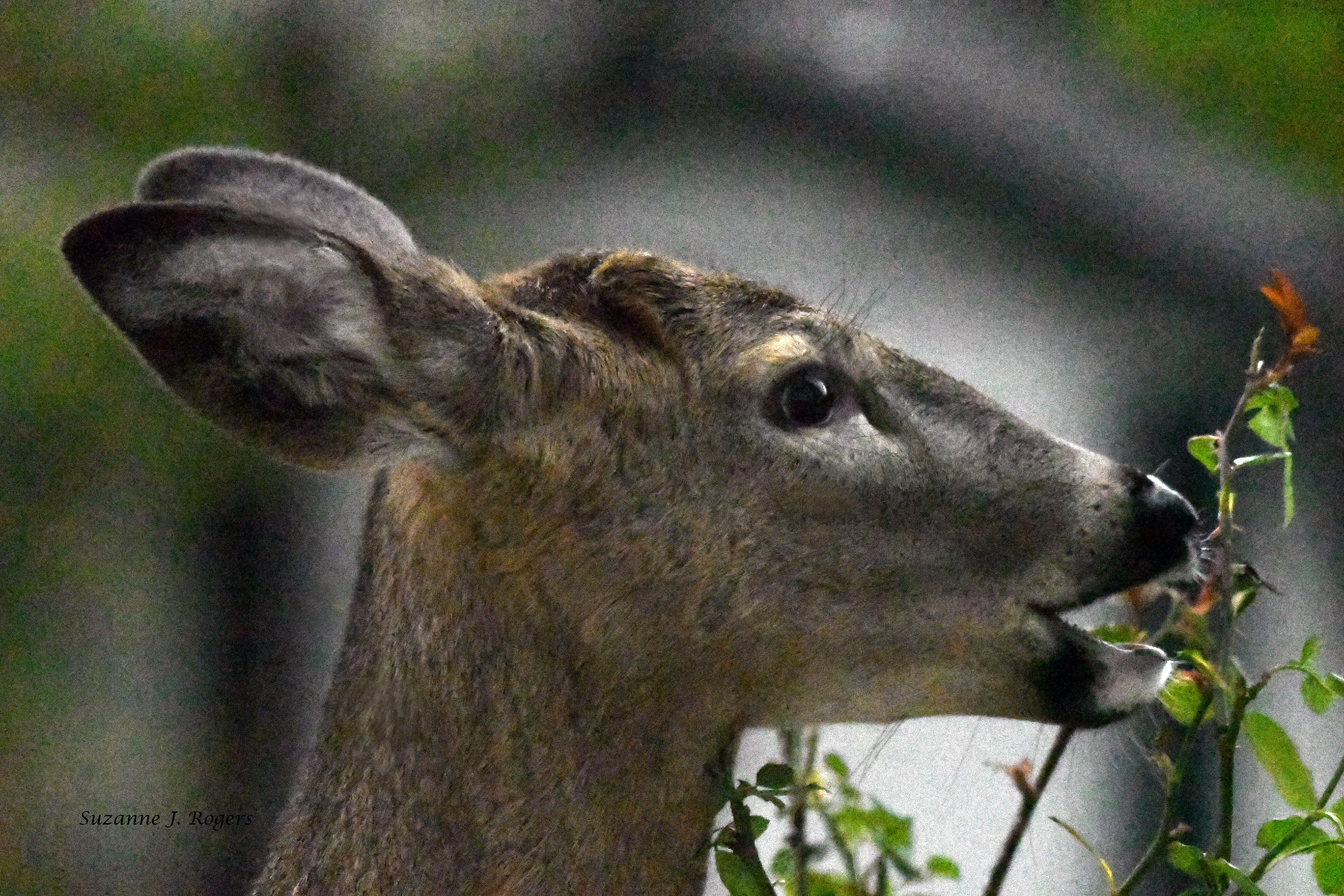 Little bucks eats the rose bush wm 4649
