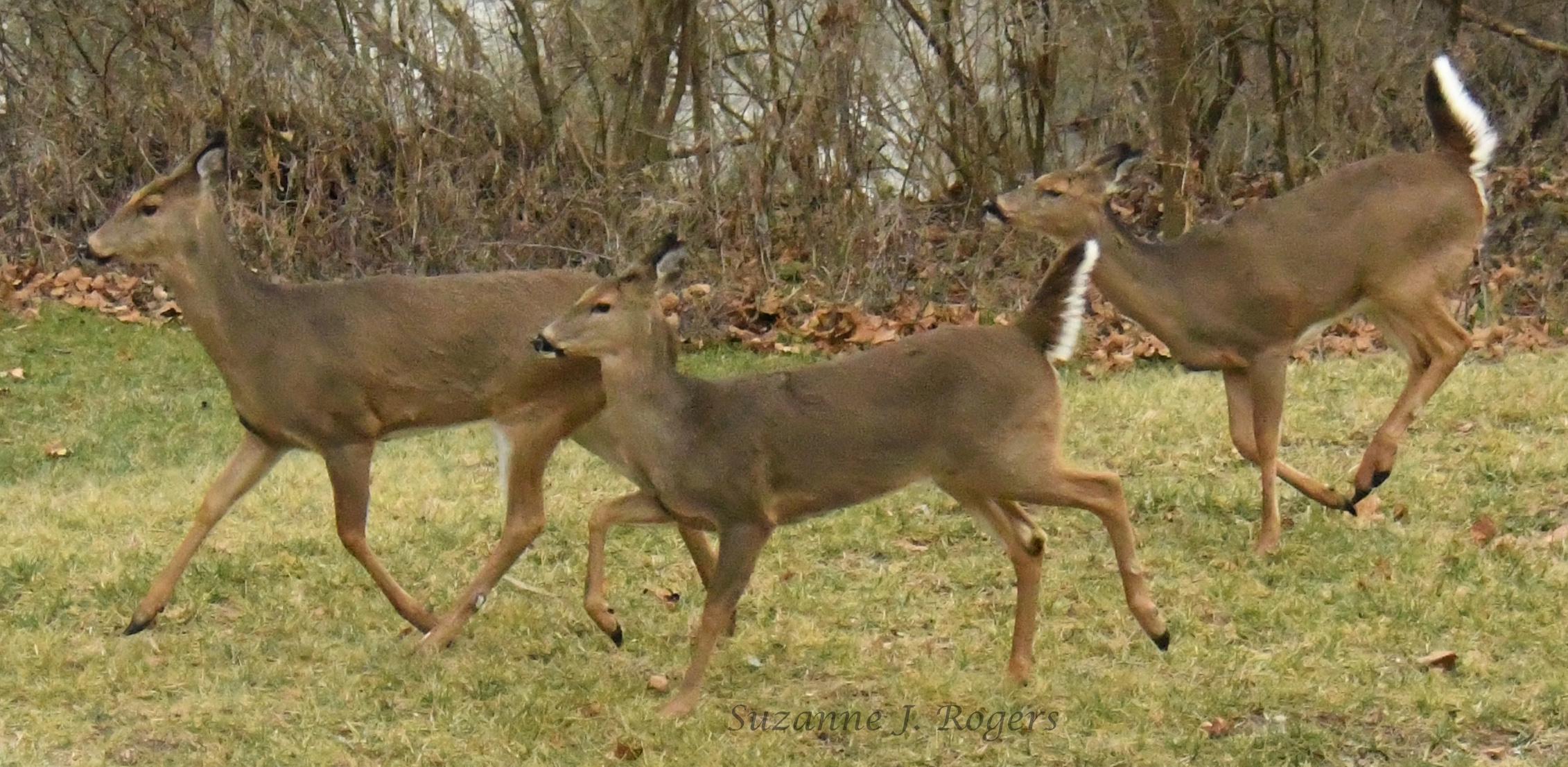 Deer CROSSING wm