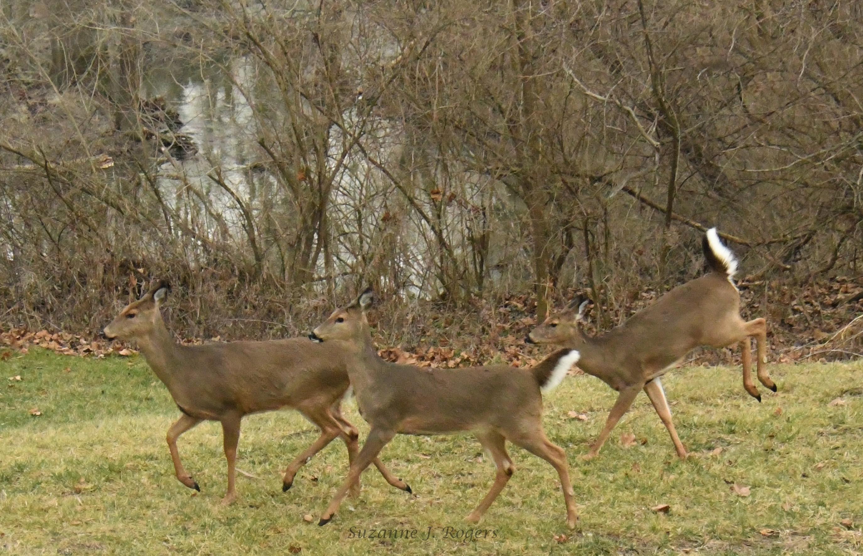 The hippity hop deer and herd wm DSC_7120