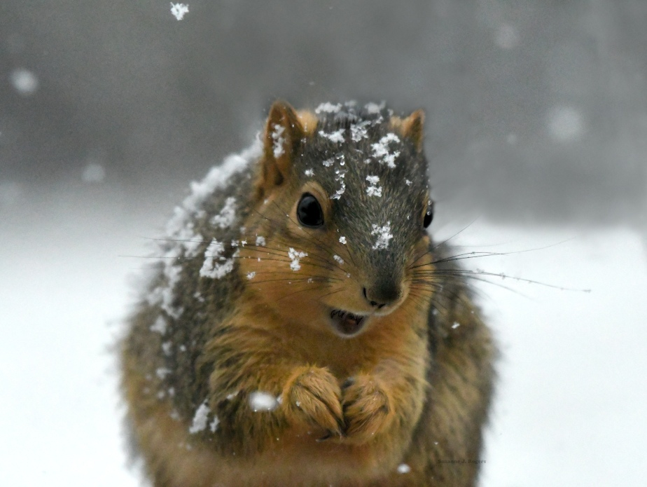 DSC_7714 Squirrel snow flakes wm