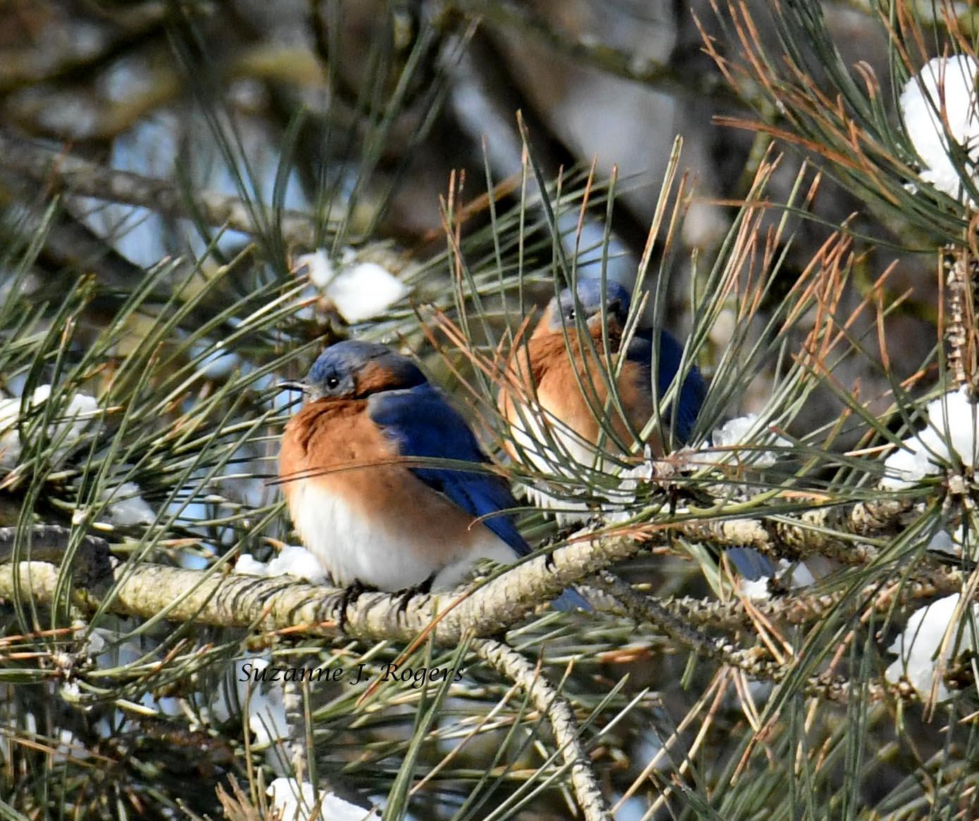 bluebirds in the snowy tree 3 wm