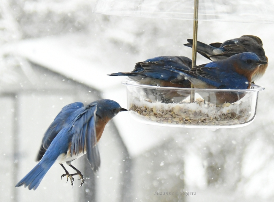 Snowy day bluebirds 2 wms DSC_5607