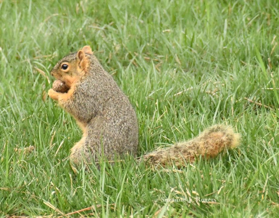 Squirrel with nut wm 0974
