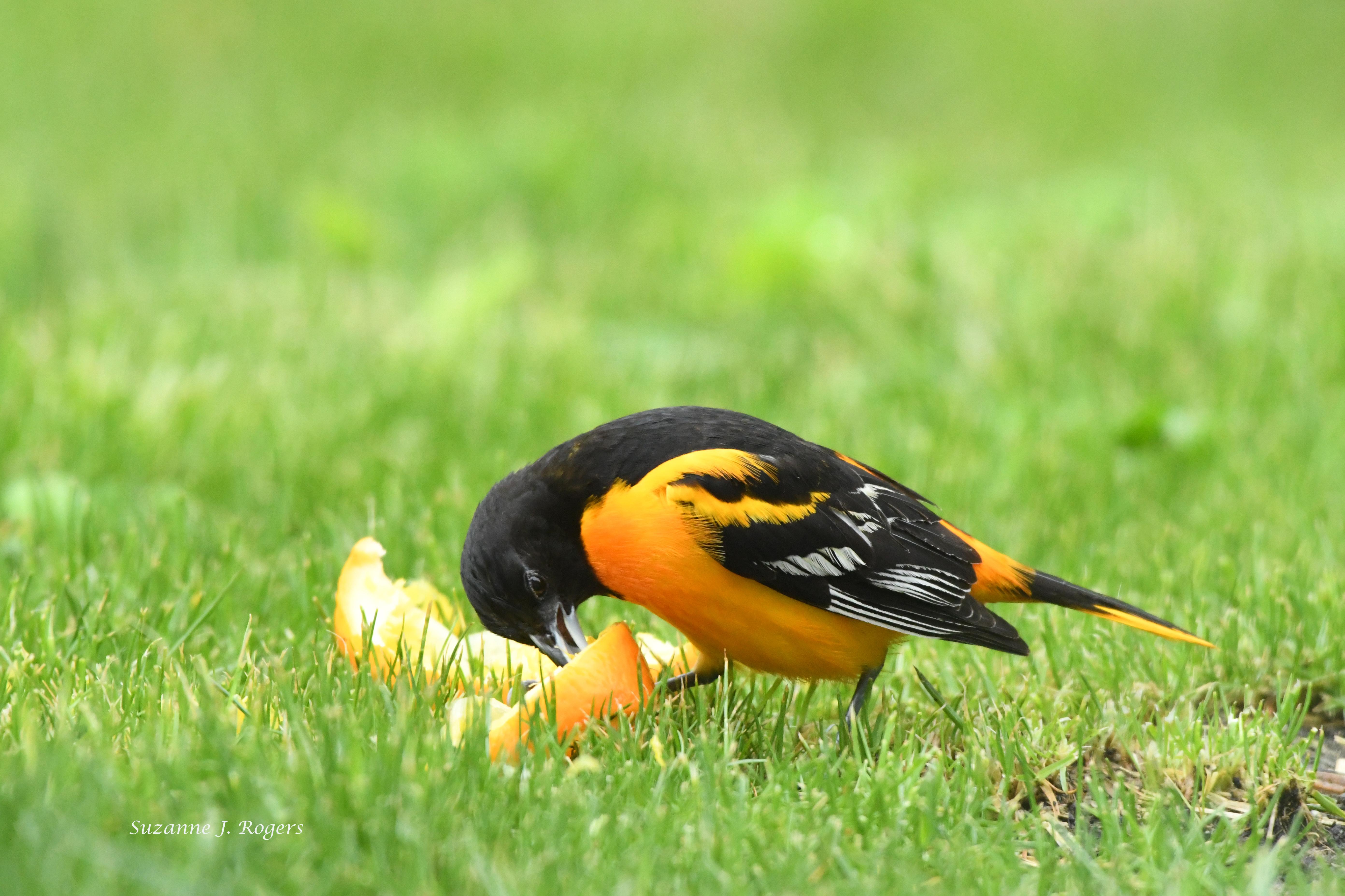 Male Baltimore Oriole wm