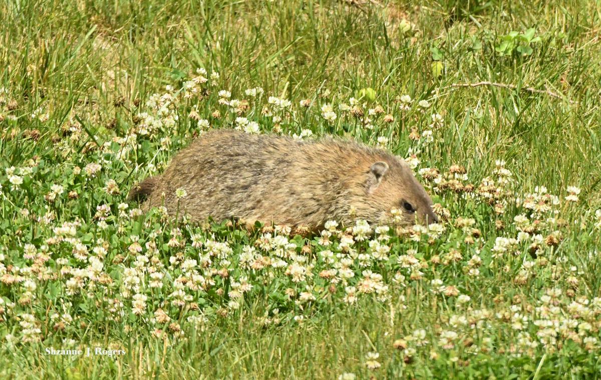 resized groundhog in clover wm DSC_2065