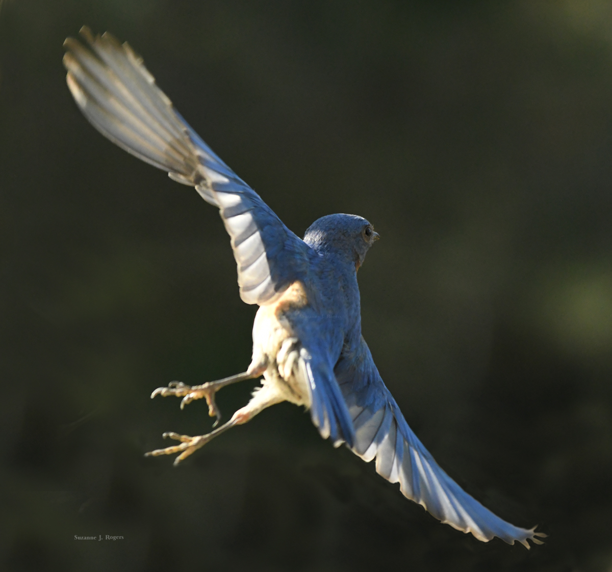 Bluejay in flight 2 wm's