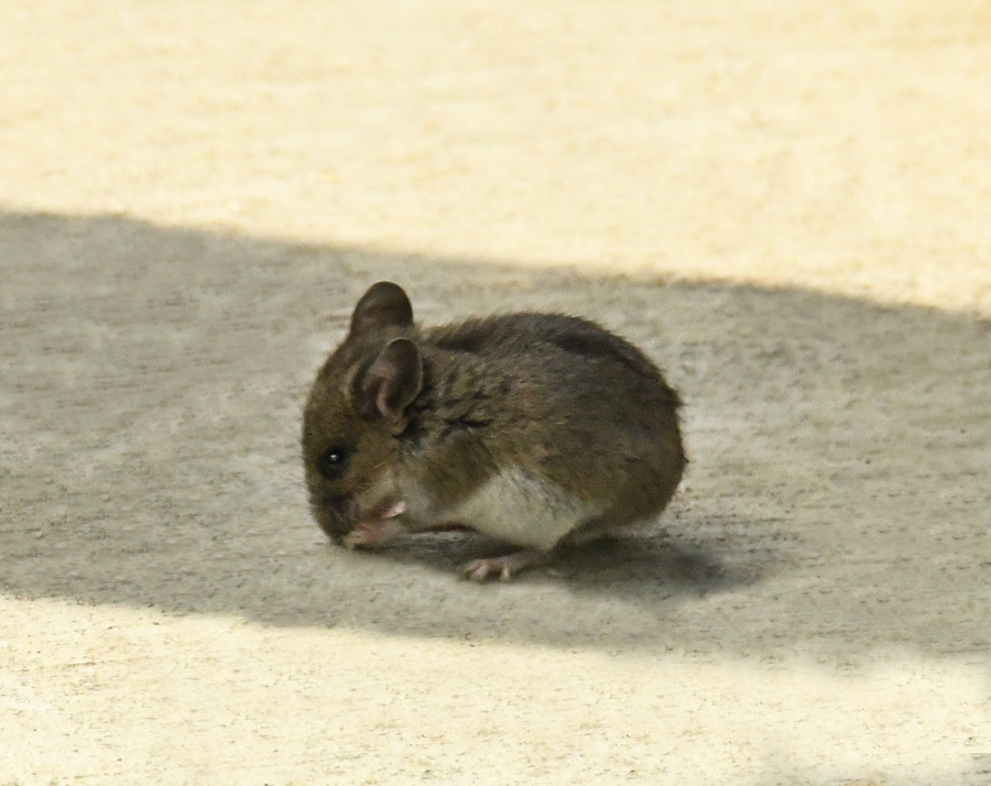 The little mouse wm resized (39 of 1)