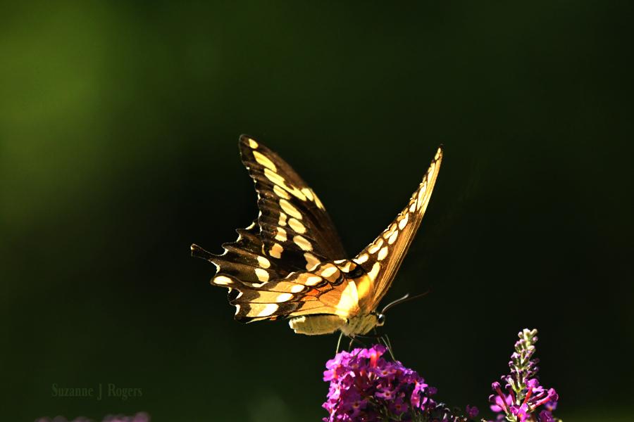 3434 butterfly wm